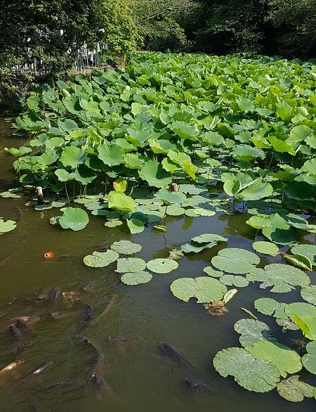 츠루가오카 하치만궁 연못의 연잎